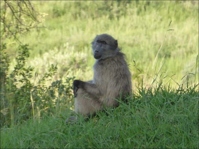 Baboons 001-P1110220www